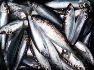 Pacific Herring. (Alaska Department of Fish & Game photo)