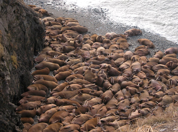 Round Island walrus haulout. (Photo by USFWS)