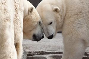 Polar Bears at the Alaska Zoo.