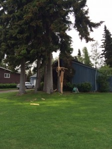 Turnagain tree damage 531-14