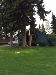 Turnagain tree damage 531-14