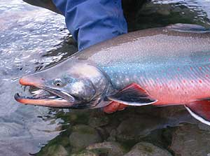 (Photo courtesy Alaska Department of Fish and Game)