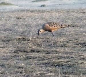 Gwen Baluss went to Boy Scout Camp after the initial sighting and also saw the Long-billed Curlew. (Photo by Gwen Baluss)