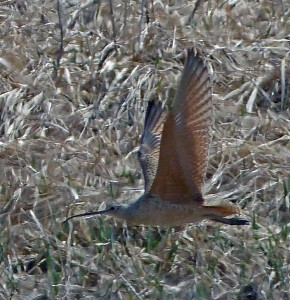 Bob Armstrong captured the Long-billed Curlew in flight. Steve Heinl says the bird is most distinctive this way because its underwings are cinnamon colored. (Photo by Bob Armstrong)