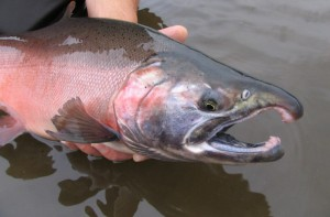 """Chinook salmon, Yukon Delta NWR."" (Photo: Craig Springer, U.S. Fish & Wildlife Service)"