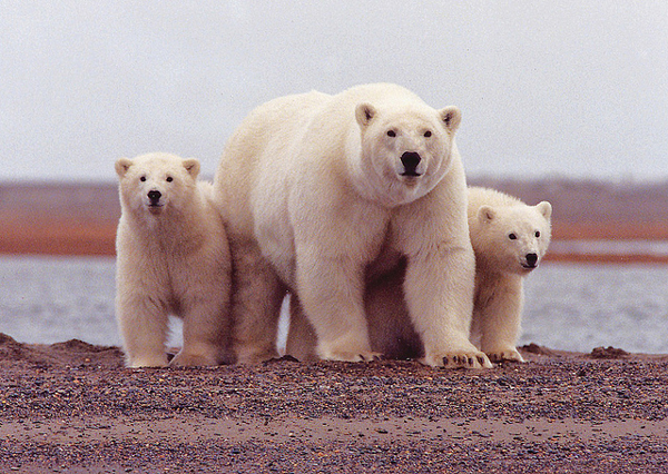 A polar bear mother watches carefully with her cubs along her side along the Beaufort Sea. (USFWS photo)