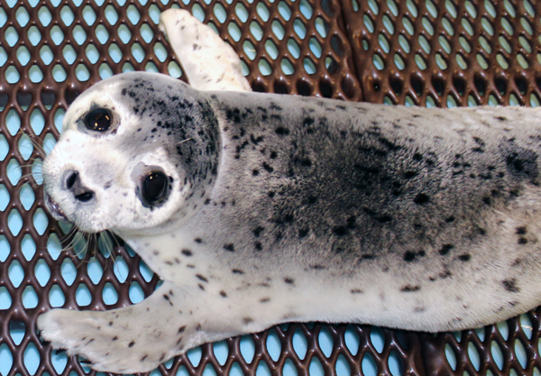 This spotted seal pup was found on April 30 near Clark's Point and taken to the Alaska SeaLife Center in Seward. (Photo courtesy Alaska SeaLife Center)