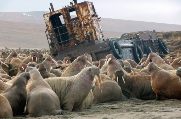 A walrus haul-out in the Serdtse Kamen Cape on the Chukotka Peninsula. (Photo: Anatoliy Kochnev, Haulout Keepers)