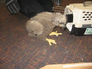 Eaglet Rescued in the Aleutians, Recuperating in Anchorage