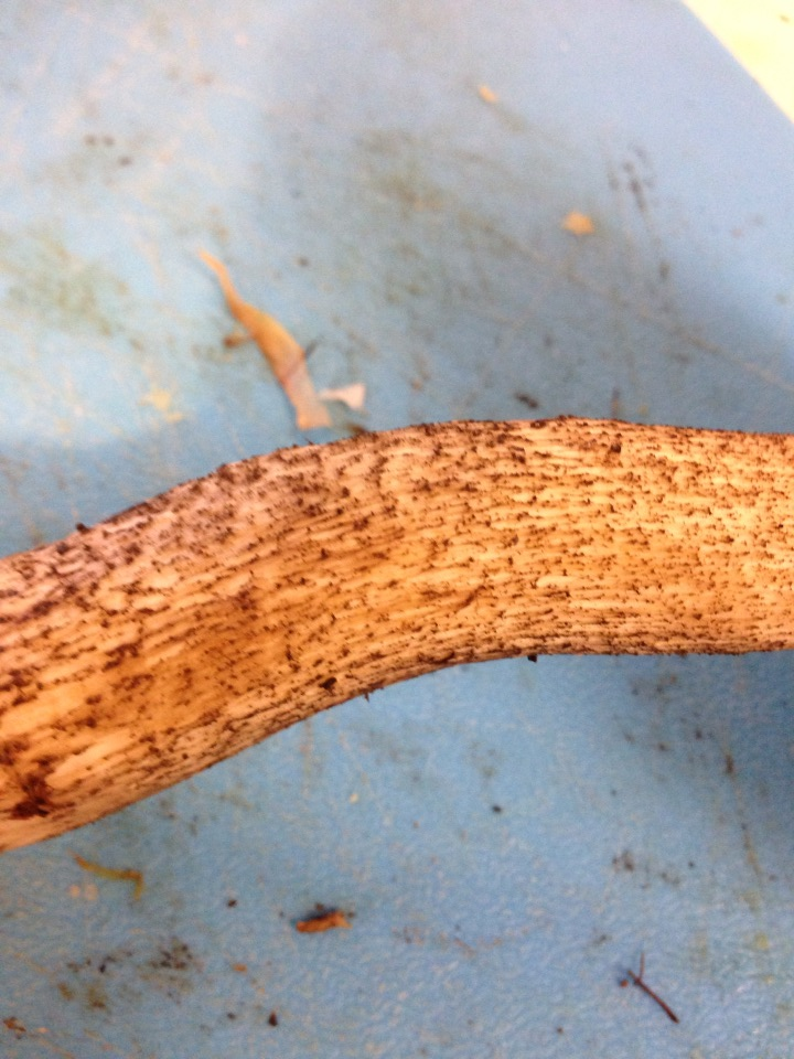 Stem of most forest boletes.