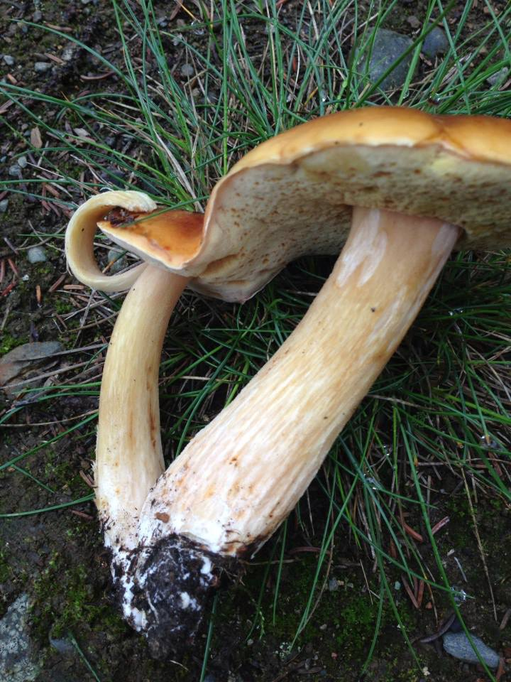 Freaky melded-cap king bolete. Still delicious!