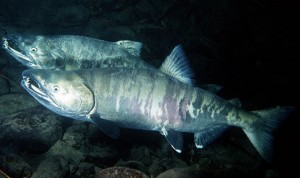 Chum Salmon. (Photo: NOAA)