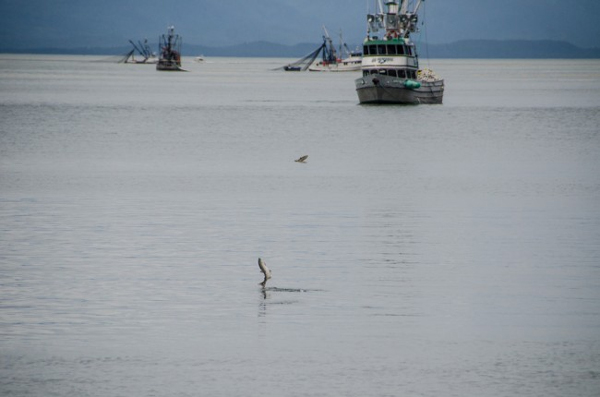 Salmon jumping out of the water at Amalga Harbor during last year's opening. (Photo by Heather Bryant/KTOO)