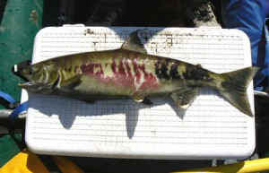 Subsistence openings in Norton Sound begin Wednesday, and fit in a strategy emphasizing chums and pinks. (Photo courtesy Alaska Department of Fish & Game)
