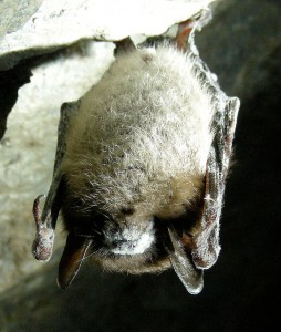 Little Brown Bat affected by White Nose Syndrome  (U.S. Fish and Wildlife Service)