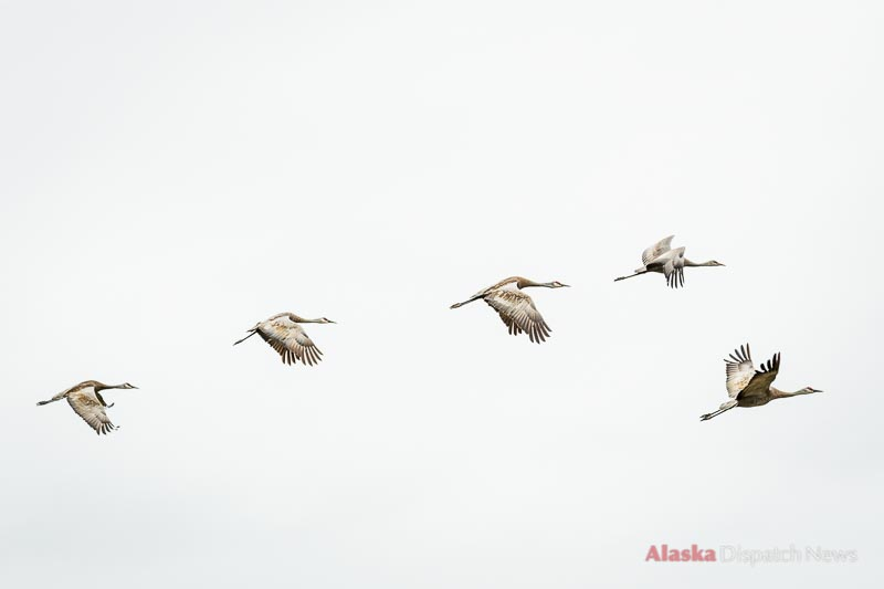 A group of Sandhill Cranes flies in formation above Alaska.