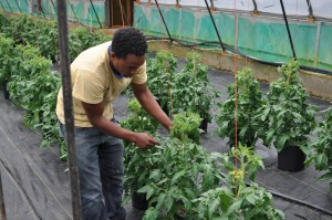 Diwt Gerewakl plucks leaves off tomato plants