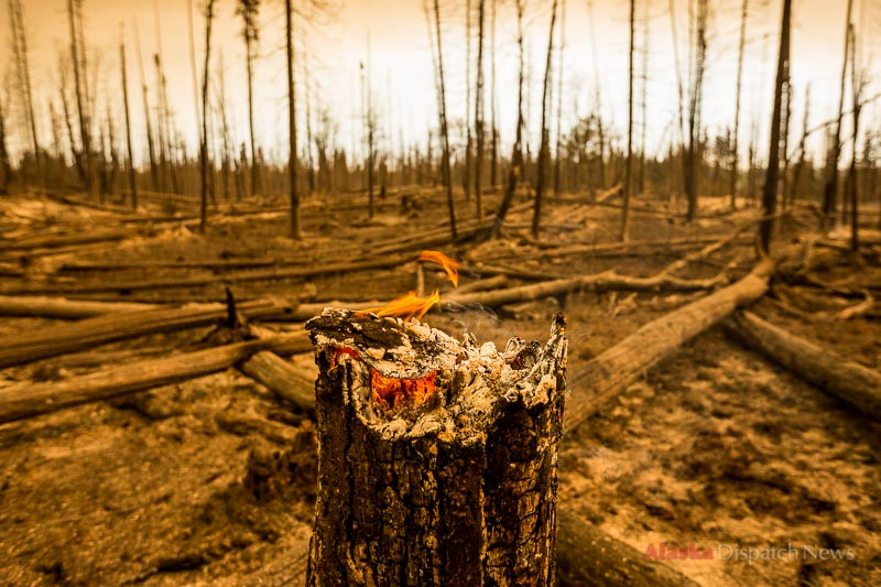 A stump burns on Monday, May 26, 2014 near the Upper Killey River, a tributary of the Kenai River. The Funny River fire burned through the area overnight.