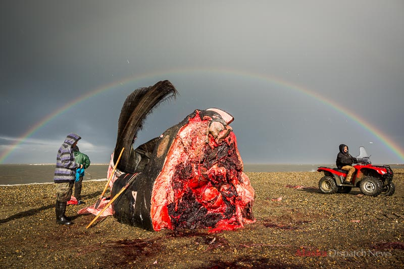 From left, Jonas Mackenzie, Eddie Rexford and Karl Brower prepare to butcher a bowhead whale head on the beach in Kaktovik, Alaska on Sept 6, 2012. The predominantly Iñupiat Eskimo village is allotted 3 whale strikes per year as part of their subsistence harvest.