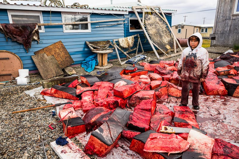 Charles Brower, Jr helps butcher Kaktovik's first whale of the year, a 44 foot long bowhead on September 6, 2012.