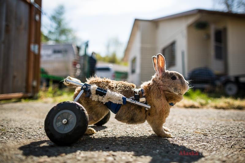 Karan Nixon's disabled rabbit, Tubby, seen here on May 21, 2012, inherited his wheeled cart from George, who was killed by a black bear last year in Nixon's yard. Nixon became famous for chasing after the bear in her slippers.