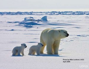 An adult female polar bear and her two cubs travel across the sea ice of the Arctic Ocean north of the Alaska coast (photo by U.S. Geological Survey).