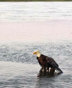 The eagle in the Kuskokwim River. (Photo by Jerod Thorson)