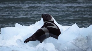 A ribbon seal photographed in Prince William Sound July 9th, 2014. Courtesy of U.S. Fish and Wildlife Service