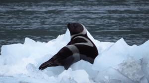 Rare Ribbon Seal Sighting In Prince William Sound