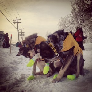 Brent Sass's lead dogs lick the ice from their booties during a quick stop for supplies at Carmacks during the 2014 Yukon Quest. (Credit Emily Schwing / KUAC)