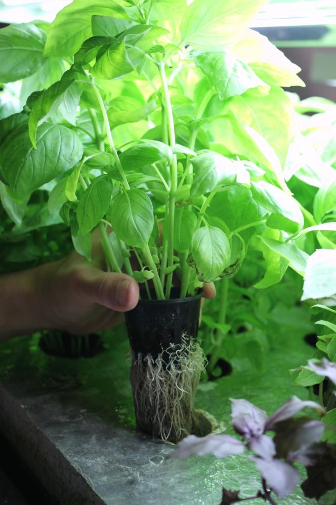 7 basil plant