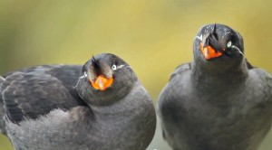 New Geotags to Shed Light on Auklet Migrations