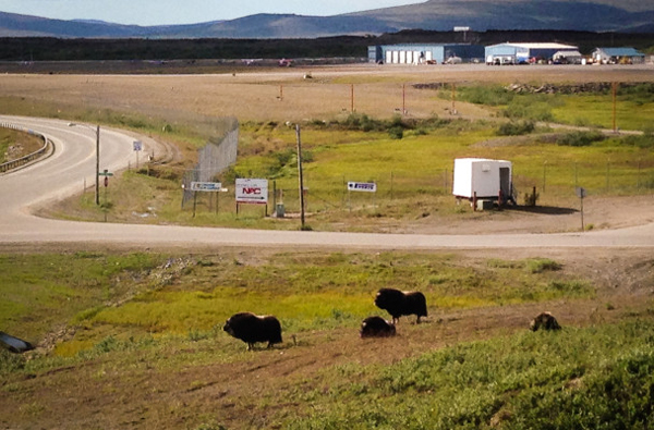 Muskox grazing near the airport in Nome. (Photo by  Matthew Smith, KNOM - Nome)