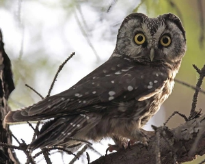 The Boreal owl lives in boreal forests and muskegs across Alaska and the northern parts of he continent. According to a new report, it could lose all of its winter habitat by 2080. Credit John Grahame Holmes/VIREO / National Audobon Society, http://birds.audubon.org/birds/boreal-owl