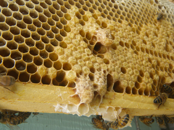Capped_emergency_supercedure_queen_cells_of_the_honey_beeWEB