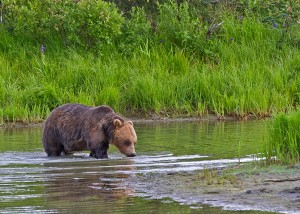 Grizzly, compliments of Gary Lackie