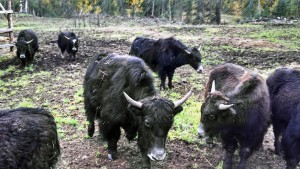 Upper Valley Agriculture: Yaks at Sunny Hill Ranch