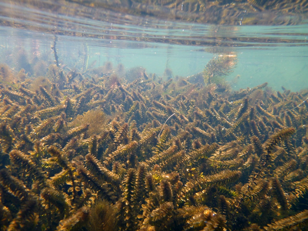 Elodea. (Photo from the U.S. Fish & Wildlife Service)