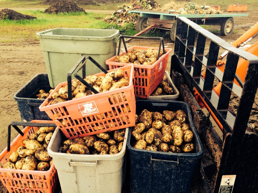 Freshly harvested Potatoes at Meyers Farm in Bethel. Photo by Daysha Eaton/KYUK.
