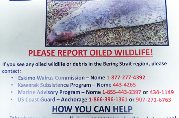 Sheffield and Ahmasuk are asking anyone who sees potentially oiled wildlife to contact them immediately. (Photo: Jenn Ruckel, KNOM. Flier courtesy of Gay Sheffield)