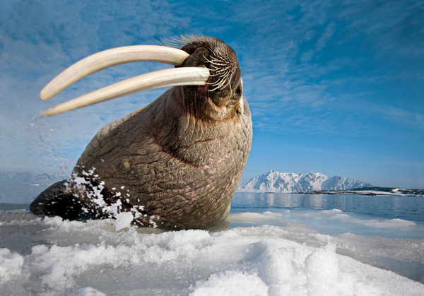 National Geographic photographer Paul Nicklen takes audiences to the vast polar regions of our planet. Walrus, Svalbard, Norway. (Image credit: Paul Nicklen)