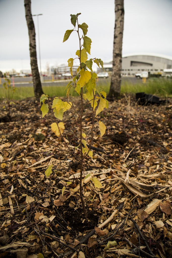 Trees were planted to make up for the trees that were cleared for the construction of UAA's new Alaska Airlines Center. Photo by Ashley Snyder/APRN.