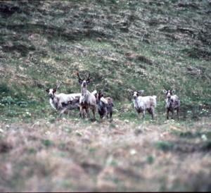 Refuge Proposes Shooting Caribou that Swim Off Adak