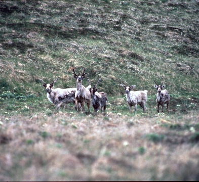 Caribou on Adak in 1985. (Credit: USFWS)
