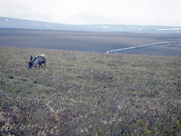 Caribou grazing along the Transalaska Pipeline. (Photo Courtesy of DNR Alasksa Pipeline Coordinator's Office)