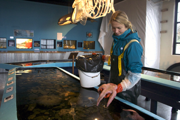 Taylor White is the aquarium manager at the Sitka Sound Science Center. Since sea star wasting disease hit Sitka a month ago, the aquarium has lost 35 sea stars and now, only two remain in the touch tanks.