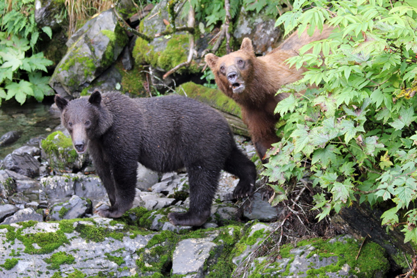 This sow and cub were spotted in the Sitka area in August, 2013. A young male was found dead recently near Sawmill Creek Road. Officials say it may have been poisoned. (Photo by P. Mooney/ADF&G)