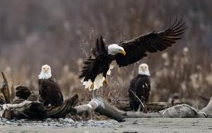 AK: Eagles Up Close