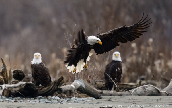 Photographer James Norman shared this picture of eagles along the Chilkat River. (Photo by James Norman)