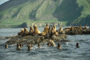 NMFS Expands Fishing Near Steller Sea Lion Habitat